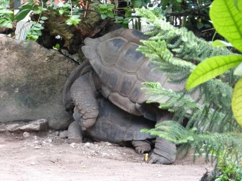 amory żółwiowe