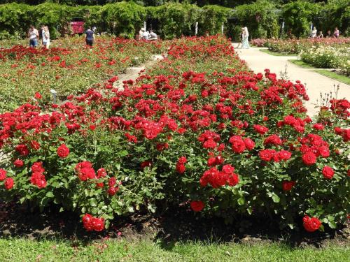 W tym ogrodzie jest ok. 3000 róż.