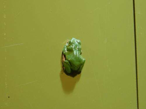 rzekotka I ---pośrodku pionowej zielonej szyby