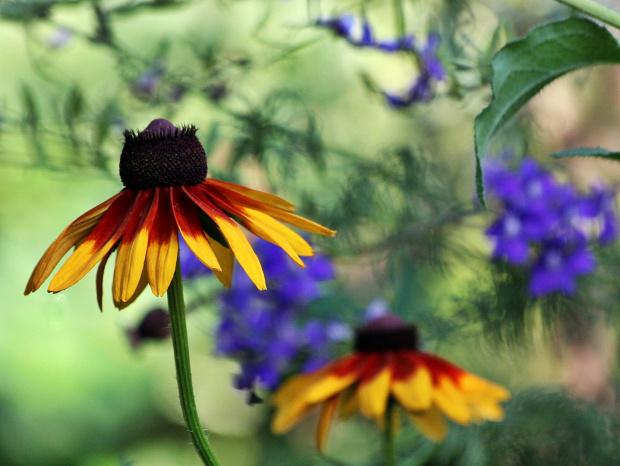 letnie wspomnienie z ogródka ...