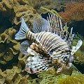 promienna ryba