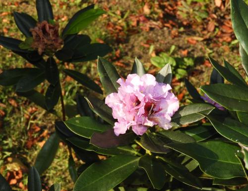 Kwitnący rododendron; foto wczorajsze.