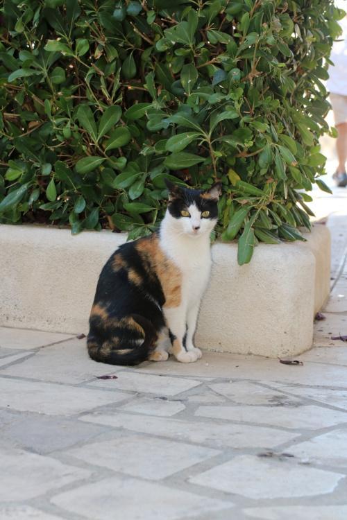 Chorwacki kot