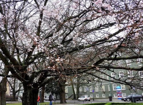 W Szczecinie przed Urzędem Miejskim zakwitła wiśnia japońska. Foto dzisiejsze.
