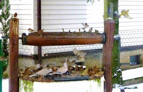 Gołębi jest bardzo dużo zazwyczaj, tu nieliczne, Ale jak tylko jest dostawa nowej karmy, przylatuje całe stado.