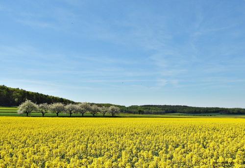 Kwitnące jeszcze czereśnie i rzepaki ... między Ligotą Dolną, a Ligotą Górną ...