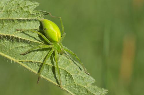 Spachacz zielonawy