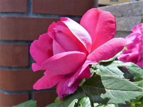 moja róża