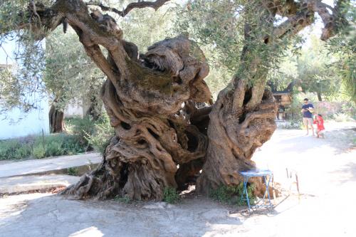 Drzewo oliwne ok 2500 lat... W m. Exo Hora