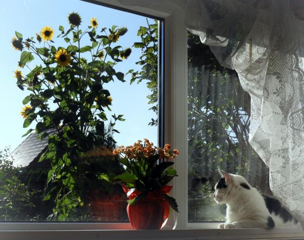 Mój słonecznik widziany z okna.