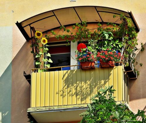 Słonecznik na balkonie, a zasiały go sobie sikorki, które już taraz goszczą się :)