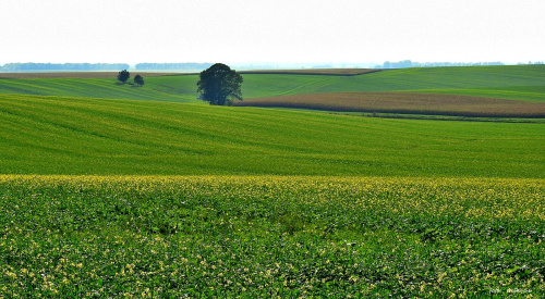 To naprawdę jesienne pola (przekwitająca gorczyca), tuż przed zaoraniem, w okolicy Ucieszkowa gm. Pawłowiczki woj. opolskie