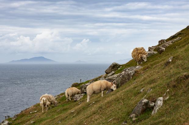 Owce w pobliżu latarni Neist Point. W oddali widoczne są Hebrydy Zewnętrzne.