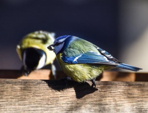 Sikorka Modra - Modraszka