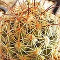 Coryphantha cornifera PP 1203