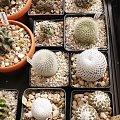 podwójny Pelecyphora Strobiliformis CH481 (Encephalocarpus strobiliformis CH481 ) i Mammillaria herrerae v. albiflora nad nimi od prawej: Mammillaria pectinifera (Solisia pectinata) i Rebutia muscula