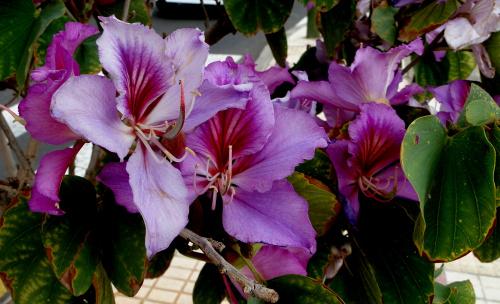 Kwitnące drzewa na kanarach