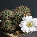 Mediolobivia leucanthema WR 305