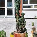 Cereus peruvianus monstrose