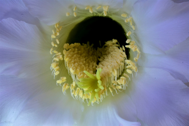 Echinopsis Eyriesa