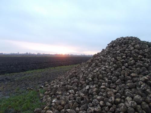 Żuławskie skarby ziemi w zachodzącym słońcu