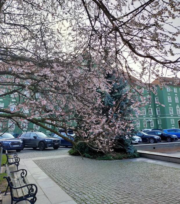 Z dedykacją dla Why-not; jeszcze raz kwitnąca wiśnia japońska.