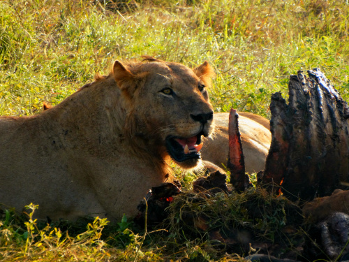 King meals - Tsavo East - Kenya