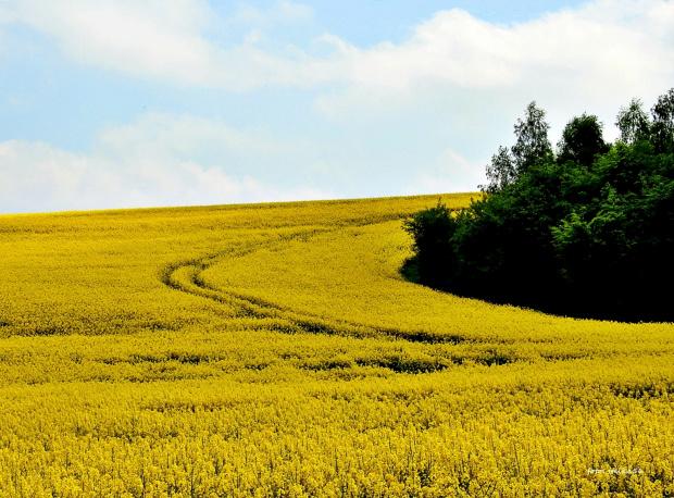 Wszędzie żółto ...