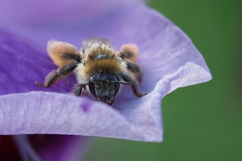 Obrostka letnia - gatunek samotnej pszczoły