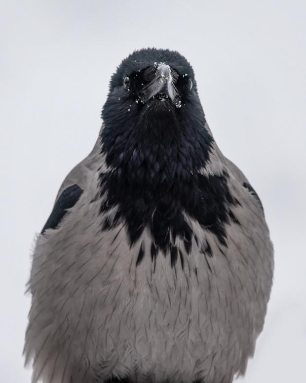 POrtret wrony z zaśnieżonym dziobem