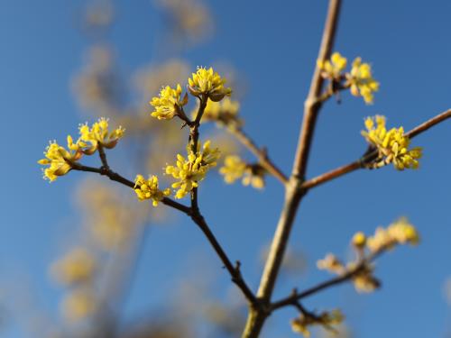 Pierwsze kwitnące drzewo - Dereń