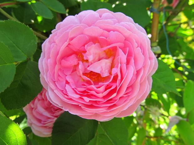 Róża... pięknie pachnąca :)