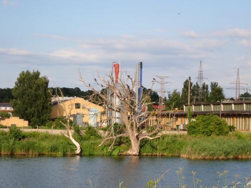 Kormorany na drzewie, które zielone już nie będzie
